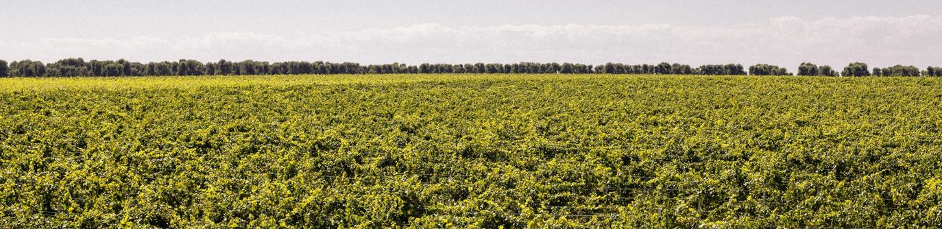 Witte wijn banner
