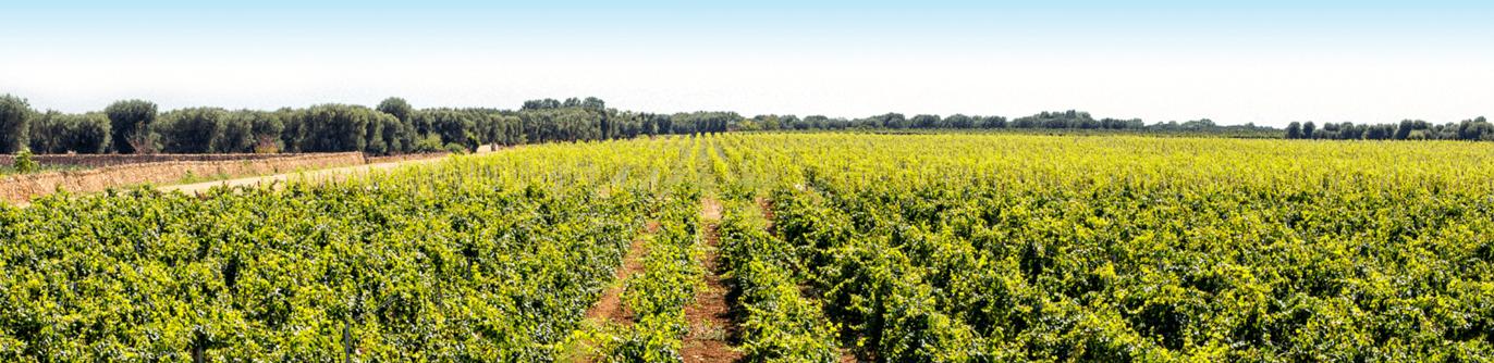 Wijngaard Zuid-Italië